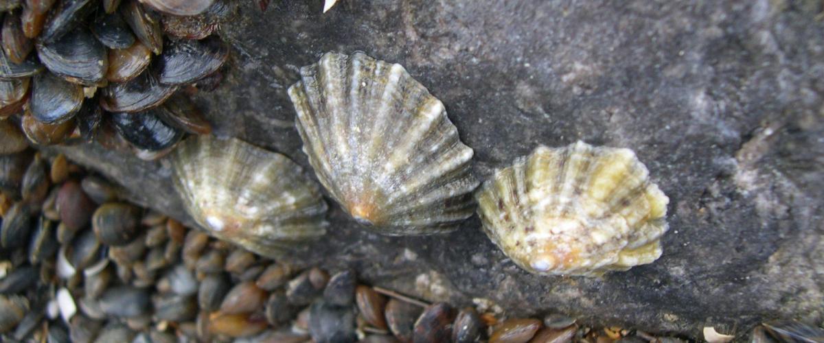Gewone schaalhorens op een strandhoofd   © WoRMS, Filip Nuyttens