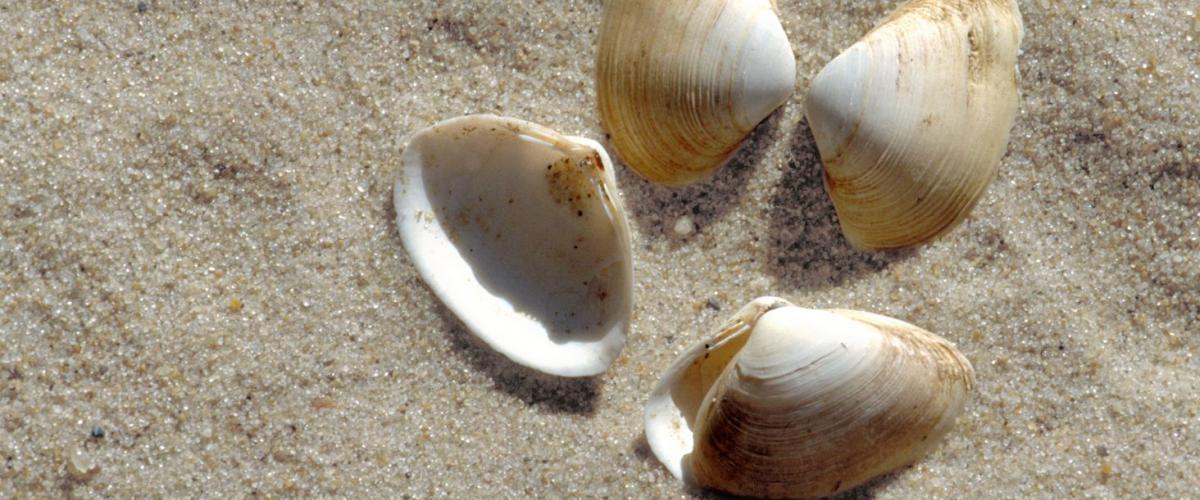 Halfgeknotte strandschelp  | © Ecomare, Sytske Dijksen