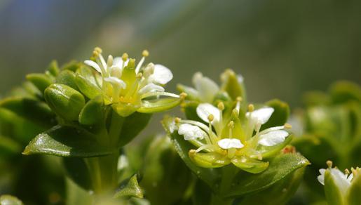 Zeepostelein bloem | © Foto Fitis, Sytske Dijksen