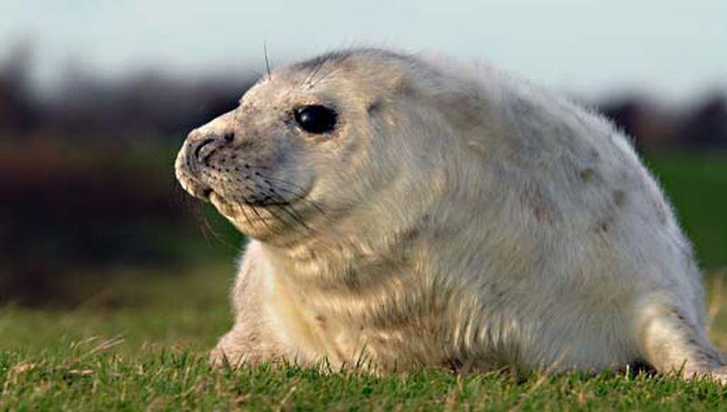 Jonge grijze zeehond | © Salko de Wolf