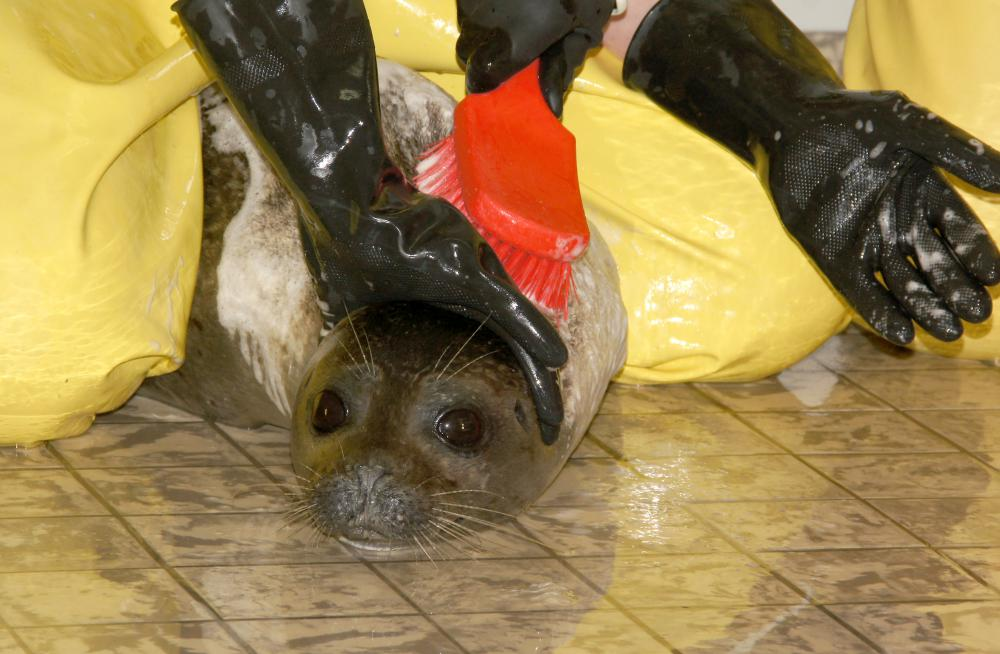 Zeehond met luis wordt gewassen | © Ecomare, Sytske Dijksen