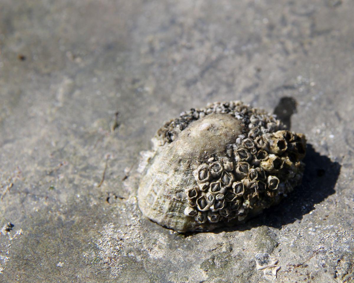 Gewone schaalhoren met zeepokken   © VLIZ, Leontien De Wulf