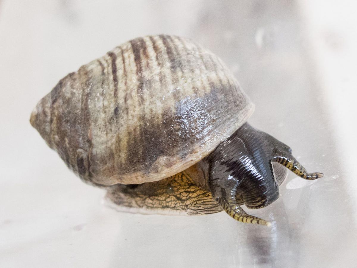 Gewone alikruik | © WoRMS, Claude Nozères