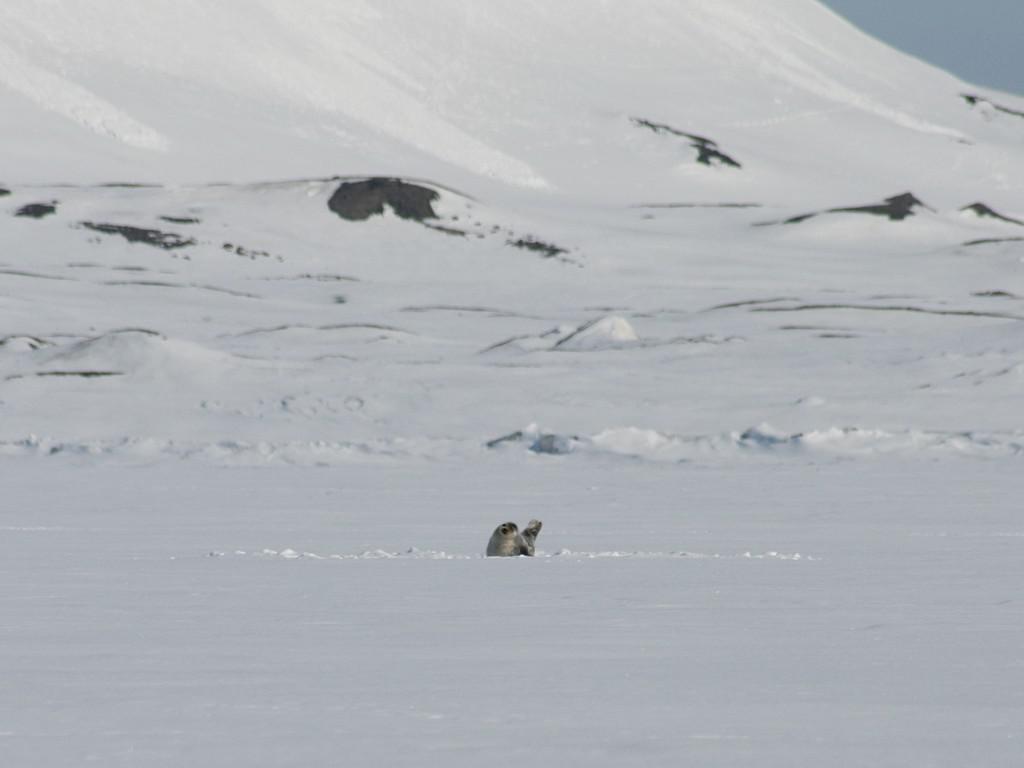 Ringelrob op ijsplaat, oostkust Svalbard | © M.Buschmann - CC BY-SA 3.0 via Wikimedia Commons