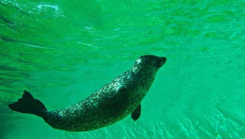 Gewone zeehond onder water | © Foto Fitis, Sytske Dijksen
