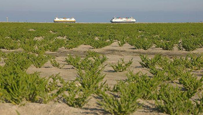 Zeekraal op De Hors | © Foto Fitis, www.fotofitis.nl