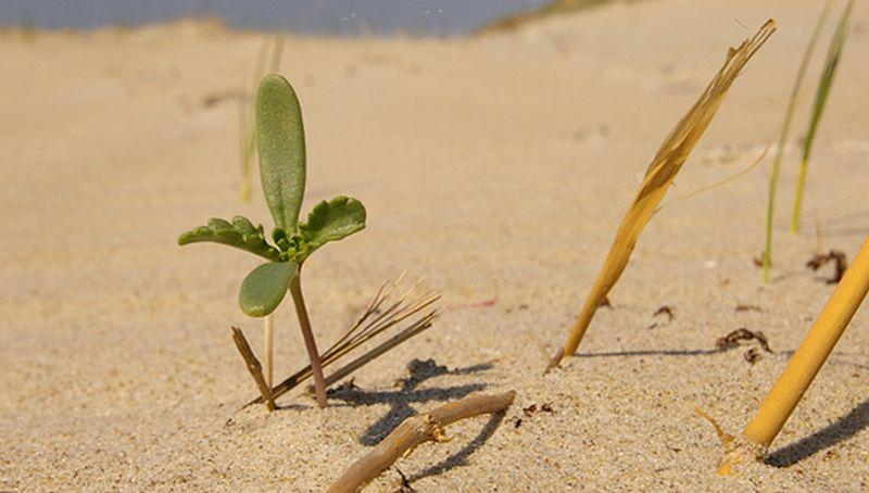 Zeeraket, kiemplantje | © Foto Fitis, Sytske Dijksen