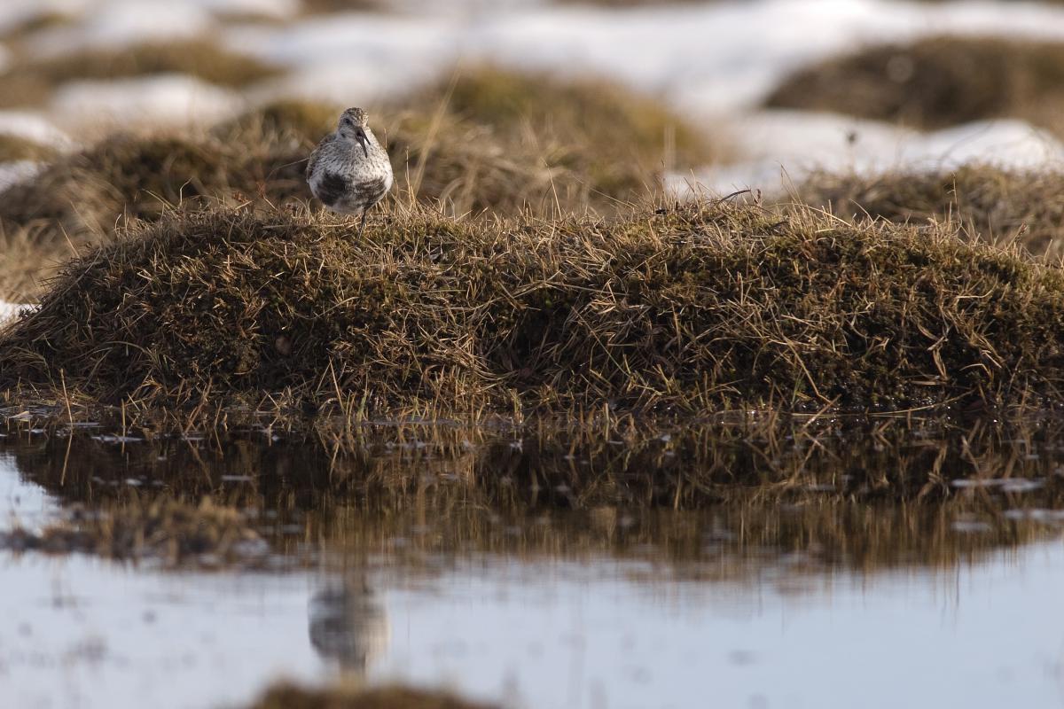 Bonte strandloper | © Ecomare, Jeroen Reneerkens