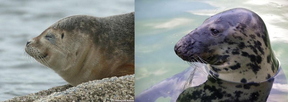 Links: gewone zeehond   © WoRMS, Roland François - Rechts: grijze zeehond   © Pixabay, natural landscapes