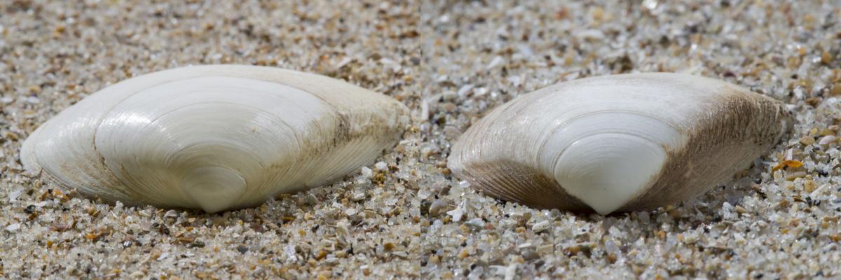 Stevige (links) en halfgeknotte strandschelp (rechts)   © Misjel Decleer