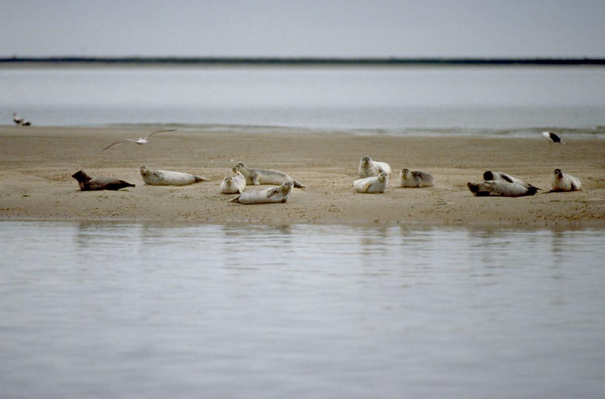 Zeehonden op zandplaat | © Ecomare, Salko de Wolf