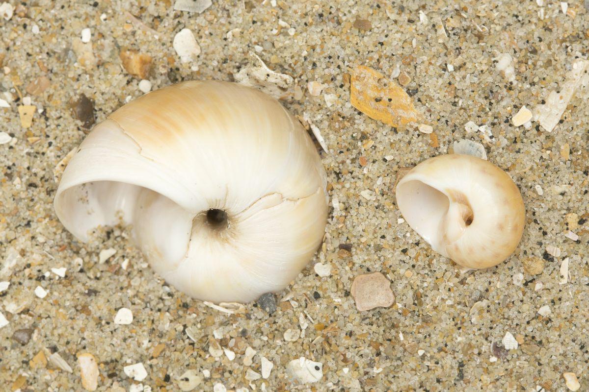 Links: grote tepelhoren - Rechts: glanzende tepelhoren   © Misjel Decleer