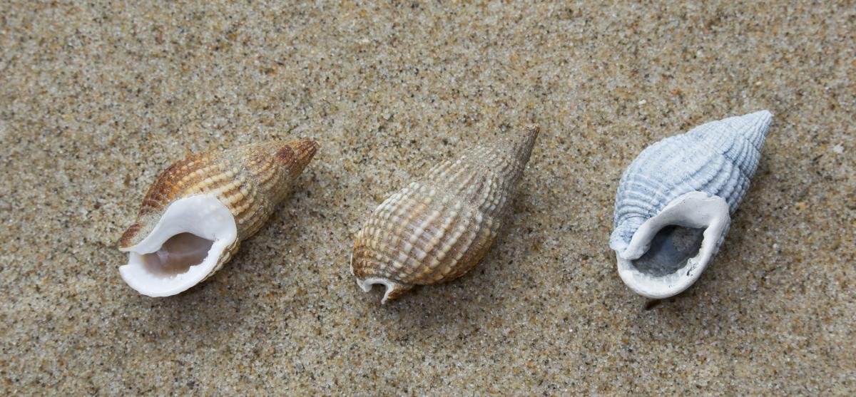 Lege schelpen van gevlochten fuikhoren | © Misjel Decleer