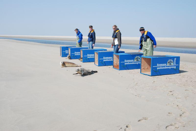 Uitzetten van zeehonden | © Ecomare