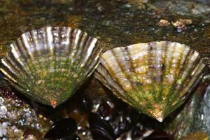 Schaalhorens op Engelse rots   © Ecomare, Foto Fitis, Sytske Dijksen