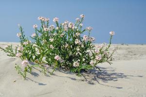 Zeeraket, lila bloemen | © Ecomare