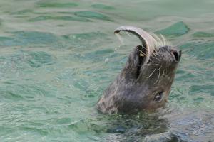 Grijze zeehond eet platvis | ©  Salko de Wolf