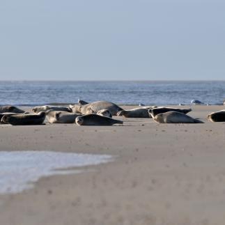Gewone zeehonden op zandplaats | © Ecomare, Salko de Wolf